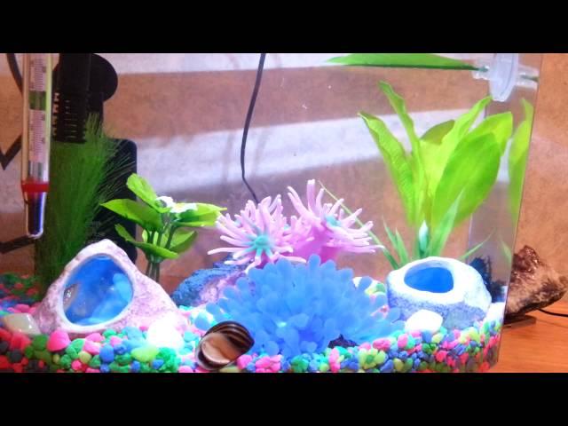 Betta fish tank with zebra snail