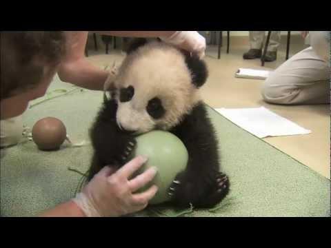 Il piccolo panda gioca con la palla