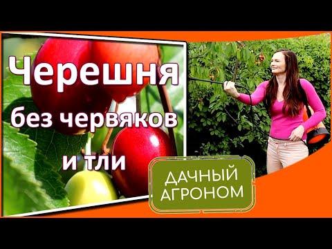 Червивая черешня с тлёй: что делать. Защита черешни и вишни от вредителей методом Дачного агронома