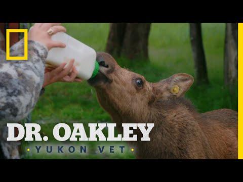 Feeding Moose Calves   Dr. Oakley: Yukon Vet