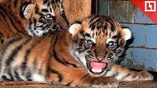 Двое тигрят родились во время гастролей цирка