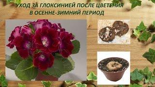 Уход за глоксинией после цветения в осенне-зимний период. Период покоя.у глоксинии.