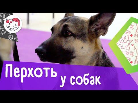 5 самых распространенных причин перхоти у собак