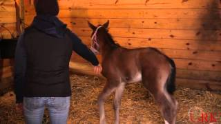 Haltering a Foal for the First Time