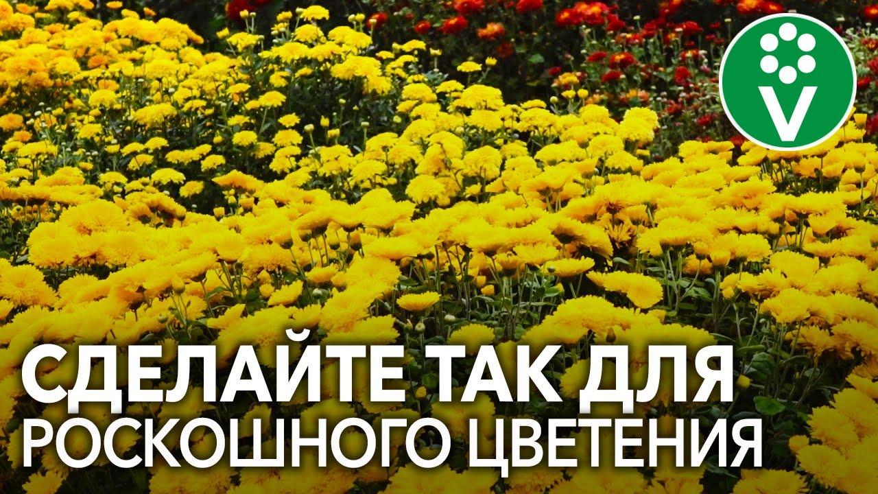 ХРИЗАНТЕМЫ ОСЕНЬЮ: секреты пышного цветения и успешной зимовки