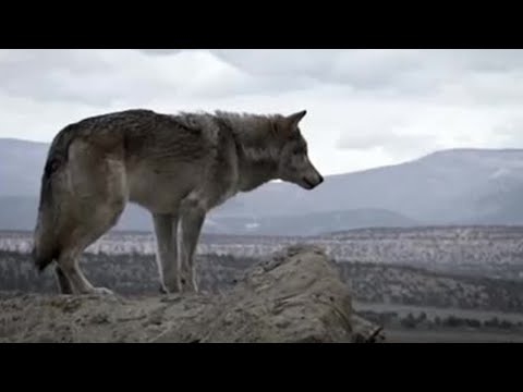 Seton's journey to kill a cattle-killing wolf Lobo The Wolf  #01