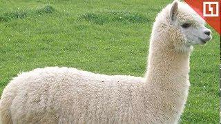 Альпака пермского зоопарка