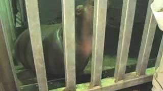 preview picture of video 'Rivière aux Hippopotames - Zoo de Granby'