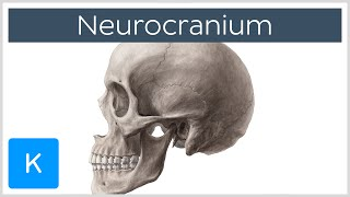 Neurocranium - Definition & Location - Human Anatomy | Kenhub