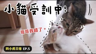 【黃阿瑪的後宮生活】小貓受訓中!四小虎日常EP.5
