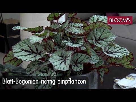 Blatt-Begonien richtig einpflanzen | DIY Sommerdeko | summer decoration | BLOOM's Floristik