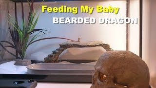 How To Feed A Baby Bearded dragon !! Tips And Tricks !!