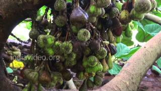 Cluster fig and medicinal uses