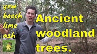 TREE ID: ANCIENT WOODLAND TREES, Yew, Beech, Lime & Ash Identification. Wye Valley Woodlands, Wales.