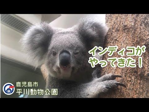 平川動物公園 コアラのインディコがやってきた!