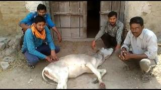 Treating cow in village Terha bundelkhand part3