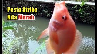 Serunya Mancing Ikan Nila Merah di Saluran Irigasi
