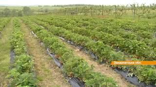 На Закарпатье выращивают украинскую клубнику по европейским технологиям