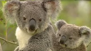 Koala - Breeding in Captivity