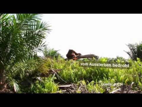ZDFzoom - Schokolade, Shampoo, Sonnencrème: Wie Alltagsprodukte den Regenwald zerstören