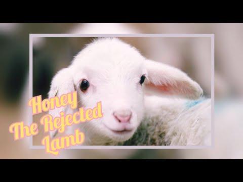 Honey the Rejected Lamb – Farming in Belize | Auroras Eye Films