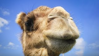 You have no idea where camels really come from | Latif Nasser