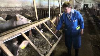 СПК Гридино. Технология выращивания коров породы Костромская.