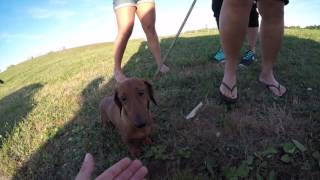 7 DACHSHUNDS - RESCUE - Aug 28, 2016