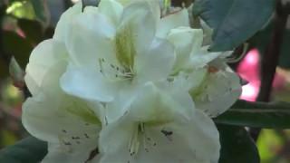 牡丹と芍薬JindaiBotanicalGardens