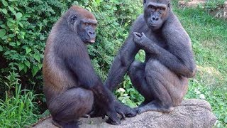 The Western lowland gorilla considered as critically endangered