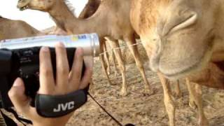 preview picture of video 'mixnutz band in abu dhabi w/camels'