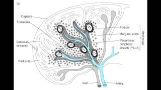 Spleen - Anatomy