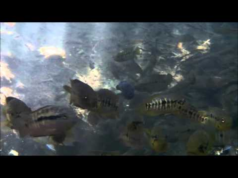 Fish Swimming in Yucatan Sian Ka'an Biosphere Reserve Muyil Mexico