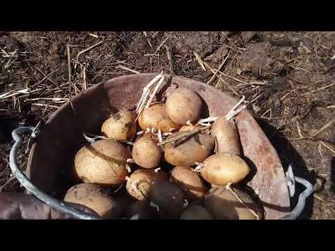 посадка картофеля лёгкий способ без вспашки