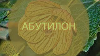 Абутилон (КОМНАТНЫЙ КЛЕН). ГОРОСКОП РАСТЕНИЙ. ТАЛИСМАН ЛЬВА.