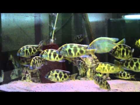Nimbochromis Venustus im 720 Liter Aufzuchtsbecken