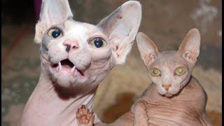 أغلى 10 سلالات القطط في العالم - غرائب و عجائب عالم الحيوان - الحيوانات الأليفة