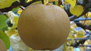日本一大きい梨「愛宕梨」の収穫始まる岡山・真庭市
