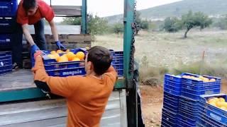 Сбор цитрусовых (апельсин и мандарин) на поле