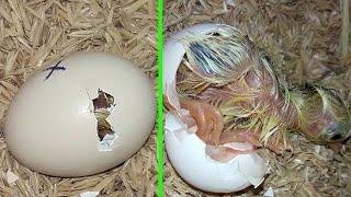 Egg Hatched - Result Hatching Egg Incubator at home