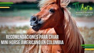 Recomendaciones para Criar Mini Horse Americano en Colombia - TvAgro por Juan Gonzalo Angel