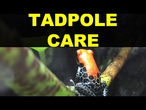 How To Care for Dart Frog Tadpoles!! (May Madness:19)