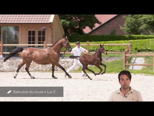 Paloubet vd Horst (Baloubet de Rouet x Lux Z)