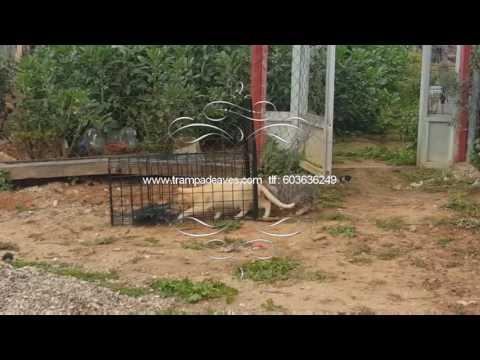 Trampas para zorros-perros-gatos-jabalí-palomas-urracas-cuervos-tórtolas-alimañas.  Tlf: 603636249