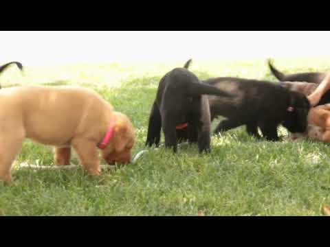 Download Fox Red Labrador Puppies Play Video 3GP Mp4 FLV HD Mp3