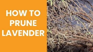 How to prune a woody lavender plant