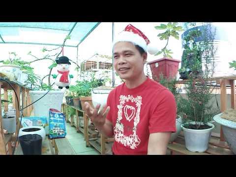 Khám phá mới không chỉ cho bonsai Sung mỹ mà còn cho cả nông nghiệp Việt nam