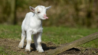 most funny and cute baby goat videos compilation  2017