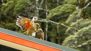 Kea Parrots Playing on a Roof in New Zealand