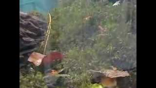 preview picture of video 'Procambarus Clarkii (Novo mesto , mladićki)'